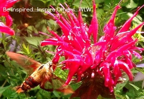 Hummingbird Enjoying Bee Balm