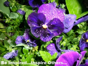 Pansies in my garden 1